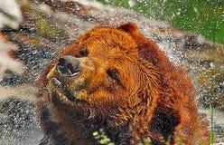 北美灰熊飞溅 免版税库存照片