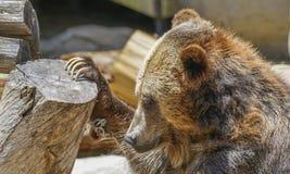 北美灰熊,动物园系列,自然,动物 免版税库存图片