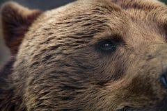 北美灰熊,特写镜头眼睛 免版税库存图片