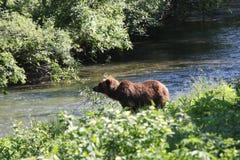 北美灰熊,阿拉斯加 库存照片