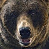 北美灰熊头射击 库存照片