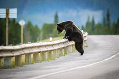 北美灰熊(熊属类arctos horribilis) 免版税库存照片