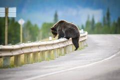 北美灰熊(熊属类arctos horribilis) 免版税库存图片