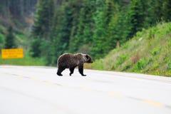 北美灰熊(熊属类arctos horribilis) 库存照片