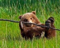 北美灰熊崽特写镜头 免版税库存照片