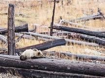 北美灰熊崽睡觉被烧的日志森林 库存图片