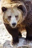 北美灰熊画象垂直 免版税库存照片