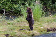 北美灰熊崽 库存照片