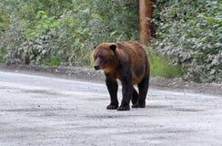 北美灰熊 免版税图库摄影