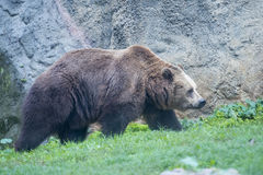 黑北美灰熊 库存图片