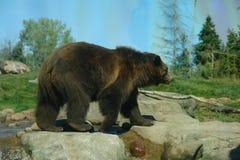 北美灰熊 图库摄影