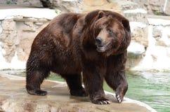 北美灰熊bear4 库存图片