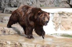 北美灰熊bear5 库存照片