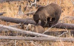 北美灰熊Cub和母猪 免版税库存照片
