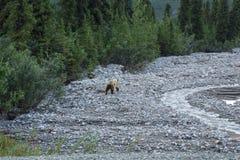 北美灰熊Cub 免版税库存照片