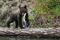 北美灰熊Cub 库存图片