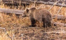 北美灰熊Cub 图库摄影
