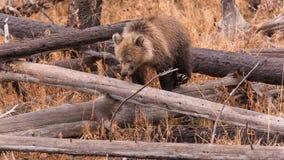 北美灰熊Cub 库存照片