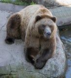 北美灰熊Lounging 库存照片