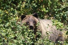 北美灰熊teton 免版税库存图片