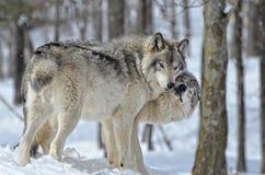 北美灰狼亲吻 免版税库存照片