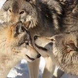 北美灰狼组装 免版税库存图片