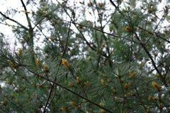 北美白松树枝 免版税图库摄影