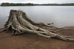 北美白松树桩 免版税库存照片