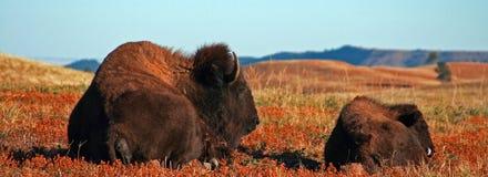 北美野牛与小牛的水牛城母牛在风穴国家公园 免版税库存照片