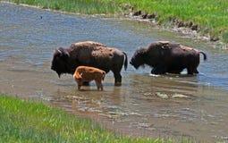 北美野牛与小牛的水牛城母牛在黄石国家公园在怀俄明美国 免版税库存图片