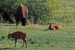北美野牛与小牛的水牛城母牛在Custer国家公园 库存图片