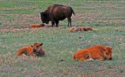 北美野牛与小牛的水牛城母牛在Custer国家公园 免版税图库摄影
