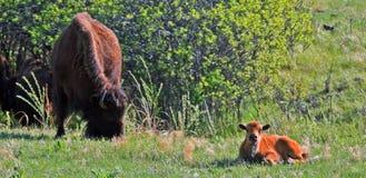 北美野牛与小牛的水牛城母牛在Custer国家公园 免版税库存图片