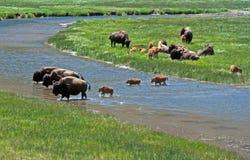 北美野牛与穿过河的小牛的水牛城母牛在黄石国家公园 免版税库存图片