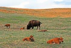 北美野牛与婴孩的水牛城母牛在Custer国家公园陷下 免版税库存照片
