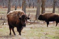 北美野牛二 免版税库存照片