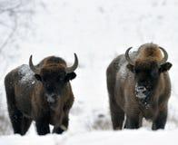 北美野牛二 免版税图库摄影