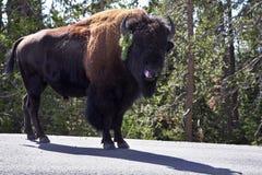 北美野牛公园路 免版税库存图片