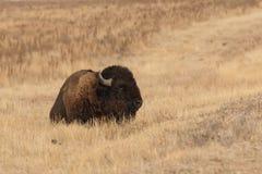北美野牛公牛供了住宿 库存照片
