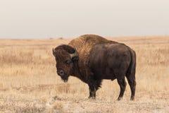 北美野牛公牛身分 图库摄影