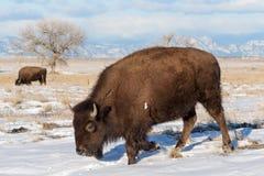 北美野牛公牛-基因上漫游彻尔的纯净的标本 库存图片