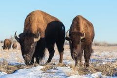 北美野牛公牛-基因上漫游彻尔的纯净的标本 免版税库存图片