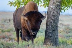 北美野牛公牛-基因上纯净的标本 免版税库存照片