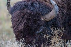 北美野牛公牛-基因上纯净的标本 免版税图库摄影