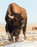 北美野牛公牛-基因上纯净的标本 免版税库存图片