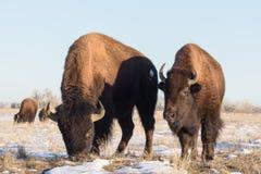 北美野牛公牛-基因上纯净的标本 库存图片