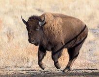 北美野牛公牛-基因上纯净的标本 库存照片