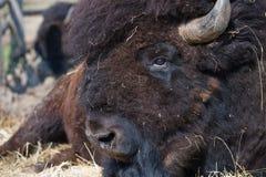 北美野牛公牛 免版税库存图片