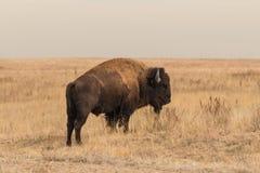 北美野牛公牛 图库摄影