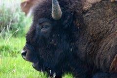 北美野牛关闭 免版税库存图片